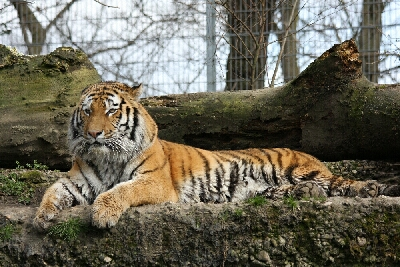 Tiger aus dem Zoo Duisburg - Photo Ulrike Limberg